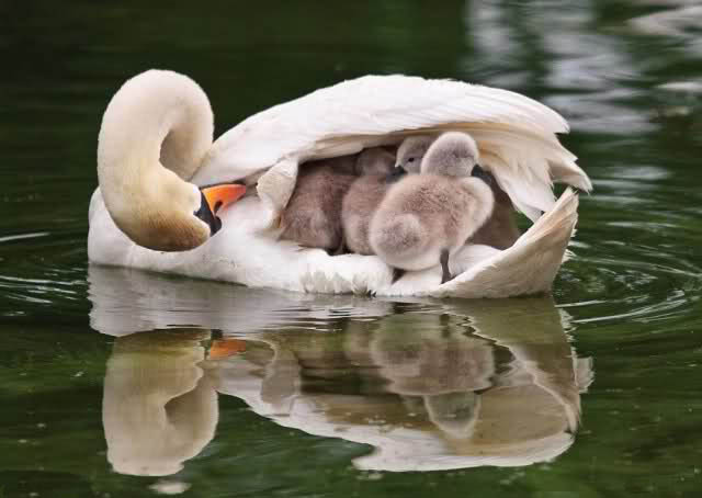 duck-mother-and-kids